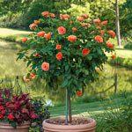 """Easy Does It® 36"""" Patio Tree Rose"""