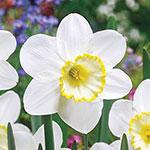 Frosty Snow Daffodil