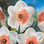 Pink Daffodil Collection