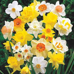 Giant Daffodils For  Naturalizing