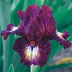 Tennison Ridge Reblooming Tall Bearded Iris