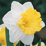 Las Vegas Daffodil