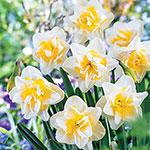 White Lion Daffodil