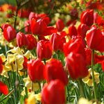 Red Dynasty™ Tulip