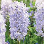 Chicago Hyacinth