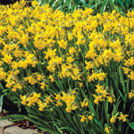 Tête-à-Tête Daffodils