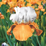 Invitation Reblooming Bearded Iris