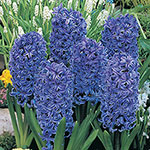 Blue Jacket Fragrant Giant Hyacinth
