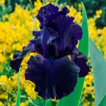 Ozark Rebounder Reblooming Bearded Iris