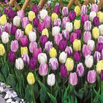 Flag Tulip Mixture