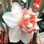 Extravaganza Daffodil