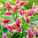 Parrot Pink Cariba Lily