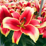 African Lady Lily Tree®