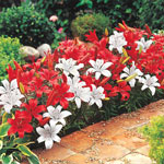 Peppermint Stick Carpet Border Lily™ Mixture