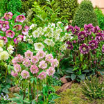 Bloomin' Beautiful Wow!® Hellebore Collection