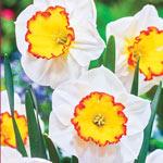 Hawaiian Skies Daffodil