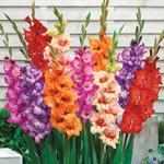 Glamini® Gladiolus Mixture