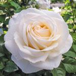 Easy Spirit™ Floribunda Rose