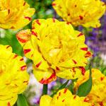 Yellow Danceline Tulip