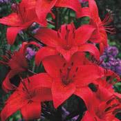 Gran Paradiso Asiatic Lily