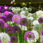 Brecks 2 Months of Allium  Mixture