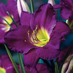 Breck's® Dwarf Reblooming Daylily Collection