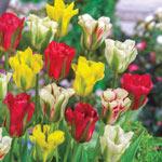 Viridiflora Tulip Mixture