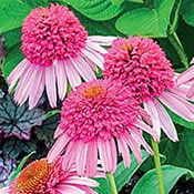 Pink Double Delight Coneflower