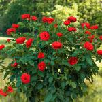 "Take It Easy® 24"" Patio Tree Rose"
