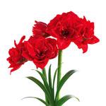 Cherry Nymph Amaryllis Bulb