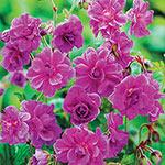 Birch Double Hardy Rose Germanium