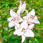 Oriental Lily Collection