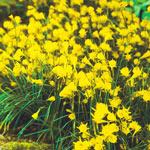 Golden Bells Carpet Daffodil™