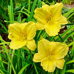 Big Time Happy Reblooming Daylily