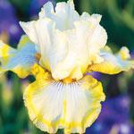 Double Ringer Bearded Iris