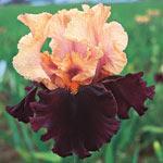 All-Season Bearded Iris Collection