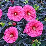 Evening Rose Hibiscus