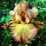 Lord of Rings Reblooming Bearded Iris