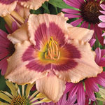 Wineberry Candy Reblooming Daylily
