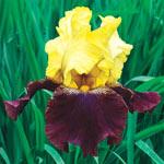 Blatant Reblooming Bearded Iris