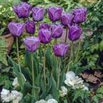 Bleu Aimable Tulip