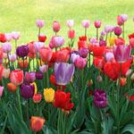 Cream-of-the-Crop Tulip Mixture Super Sak®