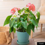 Pink Dutch Anthurium