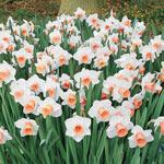 Amazing Naturalizing Daffodil Collection