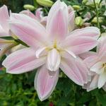 Lotus Breeze Double Lily