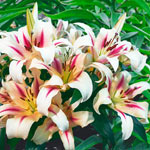 Nymph Lily Tree®