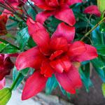 Bald Eagle Lily
