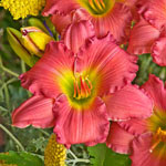 Passionate Returns Reblooming Daylily