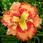 Mexican Fiesta Reblooming Daylily