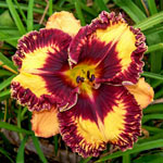 Volcanic Fireworks Reblooming Daylily